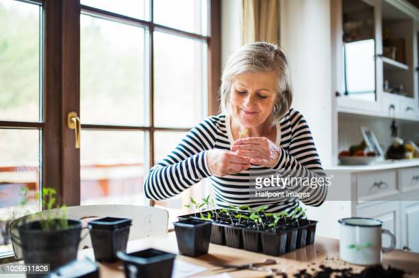a senior woman planting seedlings at home. - hobbies stock pictures, royalty-free photos & images