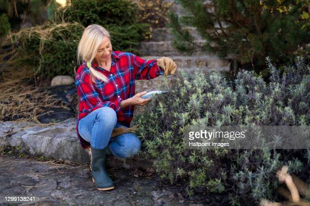 senior woman trimming flowering plants in autumn garden, gardening concept. - cutting stock pictures, royalty-free photos & images