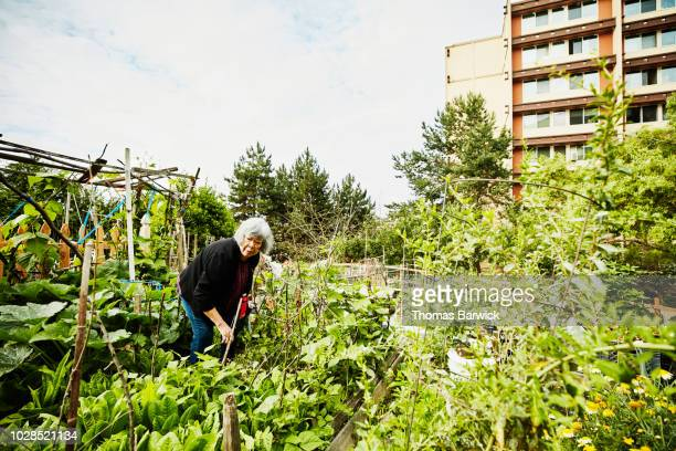 senior woman working in community garden on summer morning - urban garden stock pictures, royalty-free photos & images