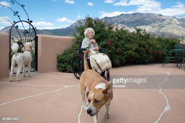 senior women with therapy dogs in wheel chair - standard poodle stock photos and pictures