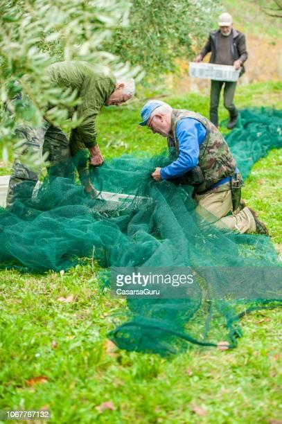 seniors searching harvested olives in netting - attività agricola foto e immagini stock