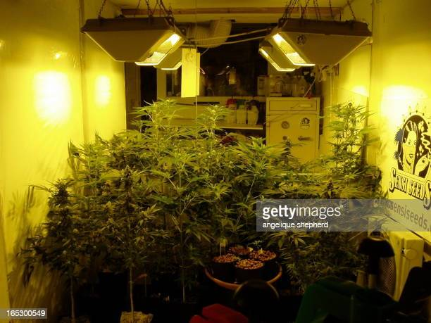 CONTENT] Sensi Seeds growing room in the Amsterdam Hash Museum Seedlings to fully grown cannabis plants Hydroponic greenhouse