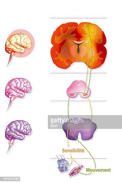 Sensorimotor Loop Representation Of The Sensorimotor Loop Monitoring Of The Brain To Link The Stimuli Originating From The Sensorial Receptors Par...