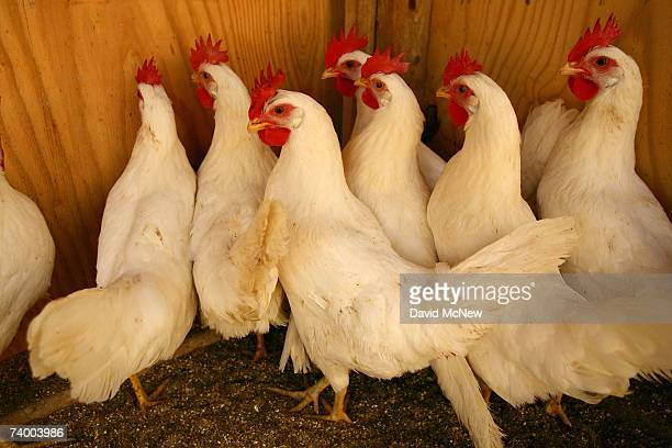'Sentinel' chickens are kept in areas of concern by the Riverside County Department of Environmental Health to detect the presence of West Nile Virus...