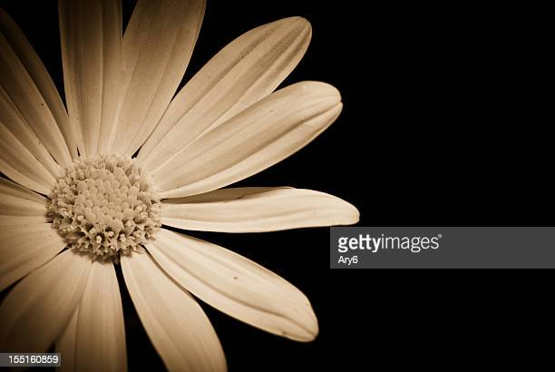 sepia daisy , indoor shot - sepia toned stock pictures, royalty-free photos & images