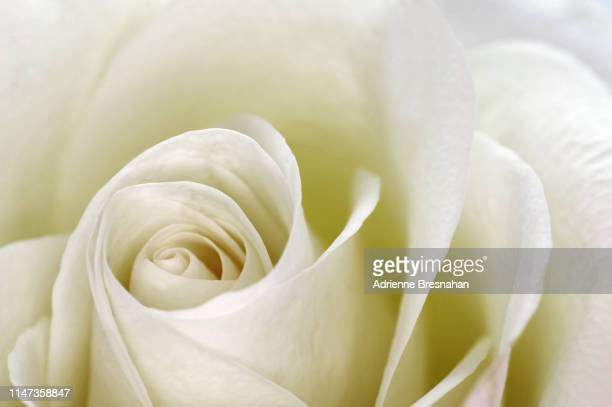 sepia-tones white rose - innocence stock pictures, royalty-free photos & images