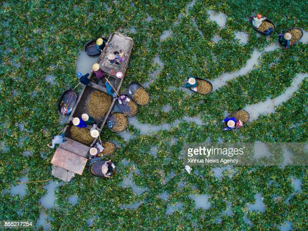 Aerial photo taken on Sept 28 2017 shows local villagers picking water chestnuts in Xinghuo Village of Wuxing District in Huzhou east China's...
