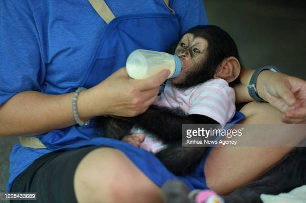 Sept. 9, 2020 -- A woman feeds a baby chimpanzee at the Crocodile Farm and Zoo on the outskirts of Bangkok, Thailand, Sept. 9, 2020.