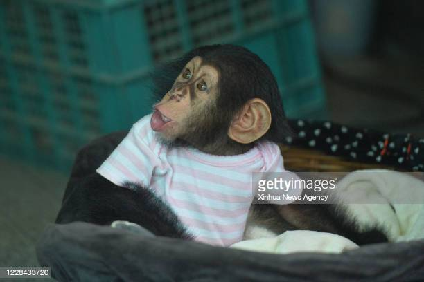 Sept. 9, 2020 -- Photo taken on Sept. 9, 2020 shows a baby chimpanzee at the Crocodile Farm and Zoo on the outskirts of Bangkok, Thailand.