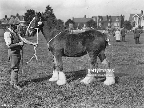A shire horse foal at Rugby Show