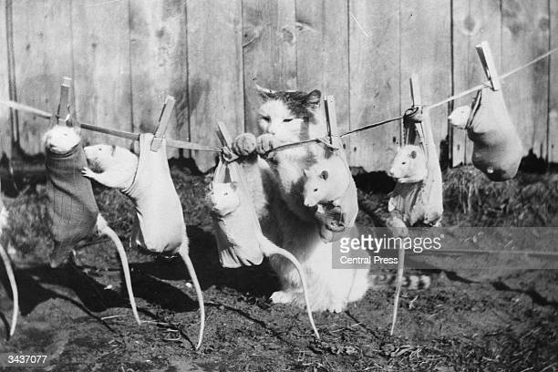 A cat hangs a row of tame rats on the washing line to dry