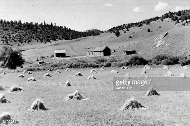 A wheat field on a farm near Holman New Mexico