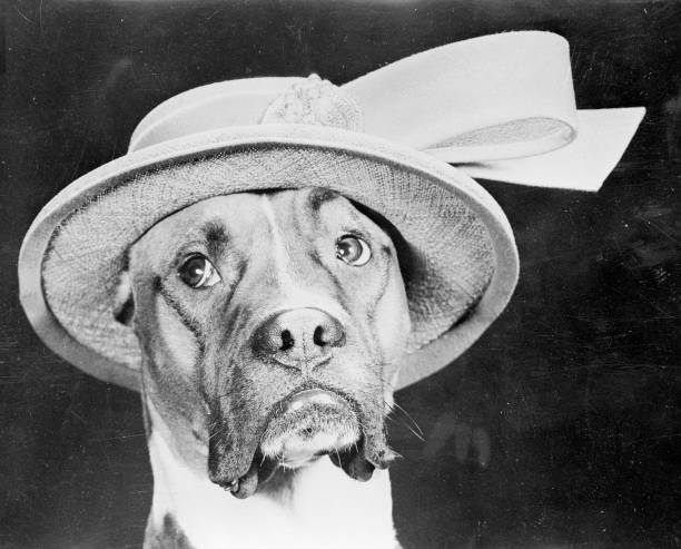 A mournful looking boxer dog called Jefferson wearing...