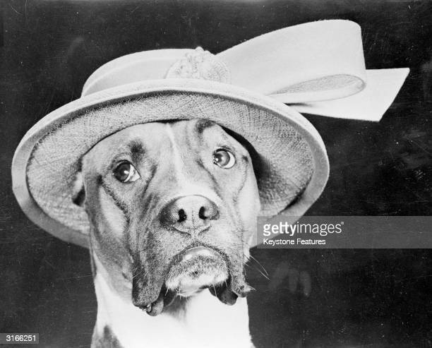 A mournful looking boxer dog called Jefferson wearing a pretty straw hat with a large ribbon