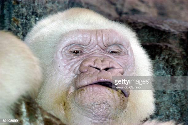 23 September 2003 Barcelona Zoo 'Copito de Nieve' Albino Gorilla