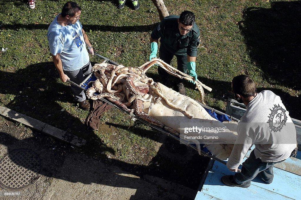"""26 September 2003. Luarca. Principado de Asturias. (Spain) Giant squid """"Kraken"""". The body of a female giant squids : News Photo"""