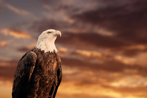 QUEBEC, QC - CANADA September 2012 : Portrait of a proud american bald eagle in front of a blurry cloudy sunset sky. 946624158