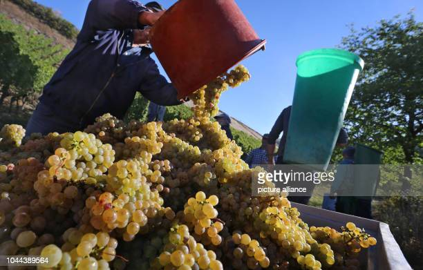 26 September 2018 Bavaria Thuengersheim 26 September 2018 Germany Thuengersheim A harvest worker pours freshly harvested grapes from a bucket into a...