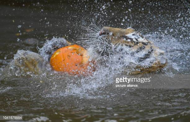 September 2018, Hamburg: A Siberian tiger, also called Amur tiger, tries to reach pumpkins filled with meat in his enclosure in Hagenbecks zoo....