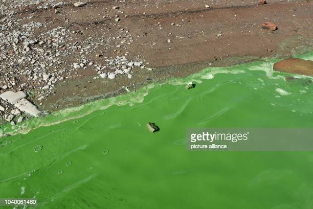 Poisonous green as a result of contamination by bluegreen algae plague is the water on the shore of the almost empty Edersee Photo Uwe Zucchi/dpa