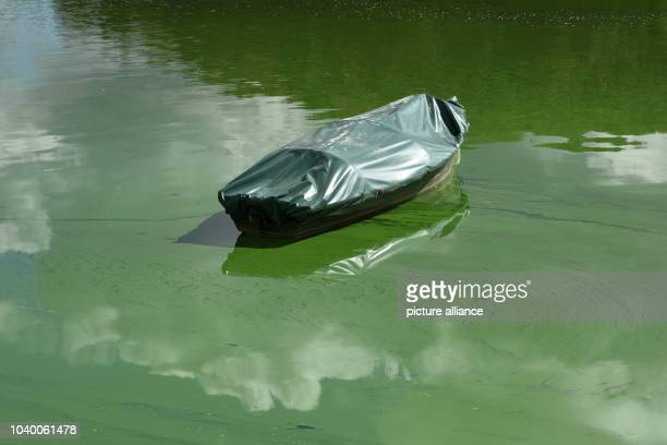 The water on which a rowing boat is moored is poisonous green due to contamination by bluegreen algae plague Photo Uwe Zucchi/dpa