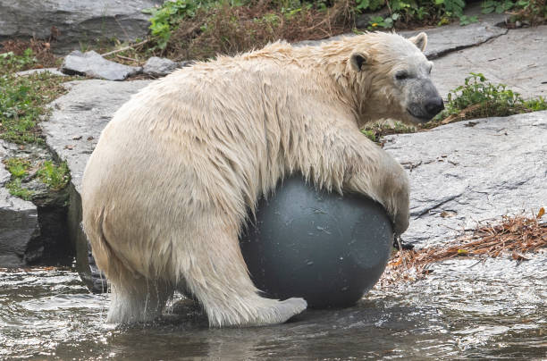 DEU: Polar Bear Offspring Hertha In Berlin Zoo