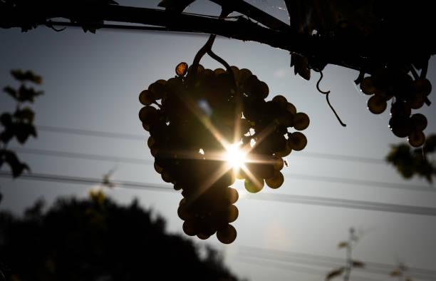 DEU: Winegrowing In Lower Saxony