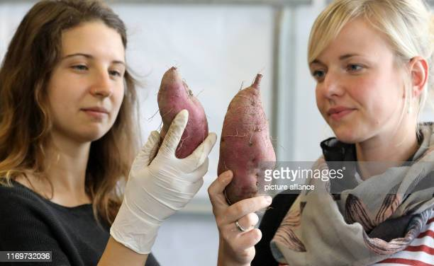 12 September 2019 MecklenburgWestern Pomerania Gülzow Julia Olszowy and AnnChristin Hillenberg are crediting freshly harvested sweet potatoes at the...