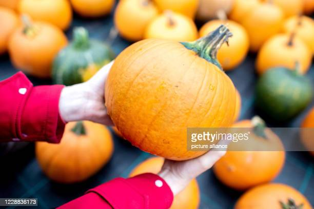 30 September 2020 Lower Saxony Wardenburg A woman holds a pumpkin in her hands which is offered for sale in a field in the Tungeln district On the...