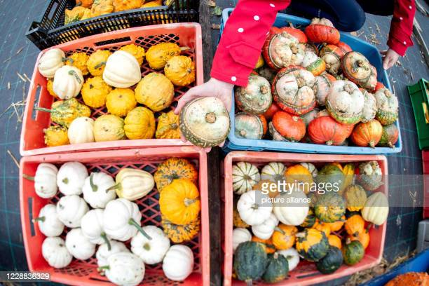 30 September 2020 Lower Saxony Wardenburg Numerous colourful decorative pumpkins are offered for sale on a field in the Tungeln district At Ippenburg...