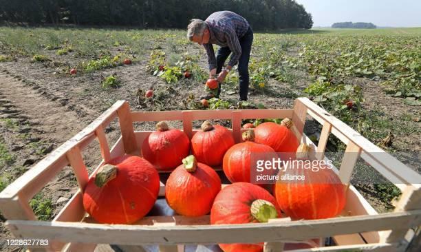 16 September 2020 MecklenburgWestern Pomerania Broderstorf Herwig Elgeti harvests Hokkaido pumpkins on the vegetable and potato farm of Elgetis The...