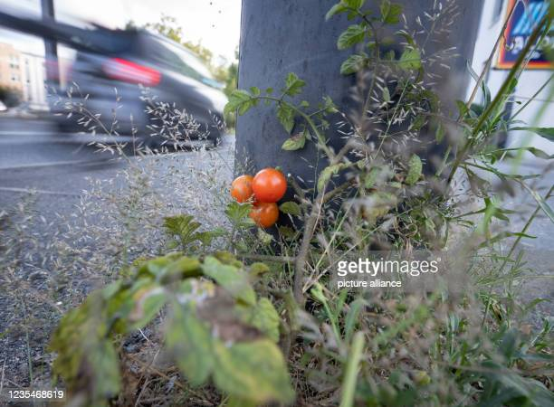 September 2021, Hessen, Frankfurt/Main: Undisturbed by traffic, three cocktail tomatoes have ripened on the busy Friedberger Landstraße in the north...