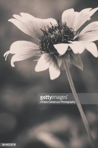 September daisy in a garden