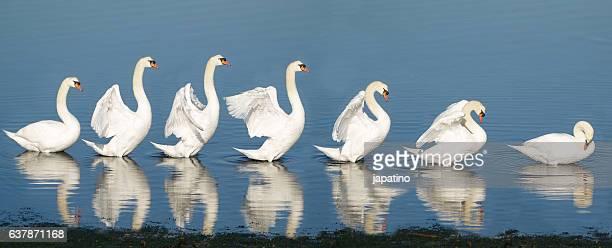 sequence of a swan stretching the wings - continuidade imagens e fotografias de stock