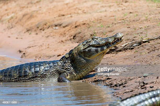 Sequence of a Yacare caiman trying to get a fish into the right position so it can swallow it, photographed at a tributary of the Cuiaba River near...