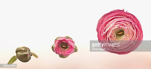 Sequence of pink ranunculus blooming