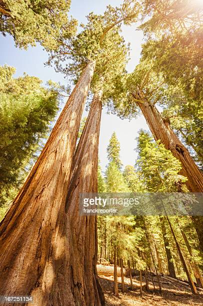 sequia national park tree in autumn - sequoia national forest stock photos and pictures