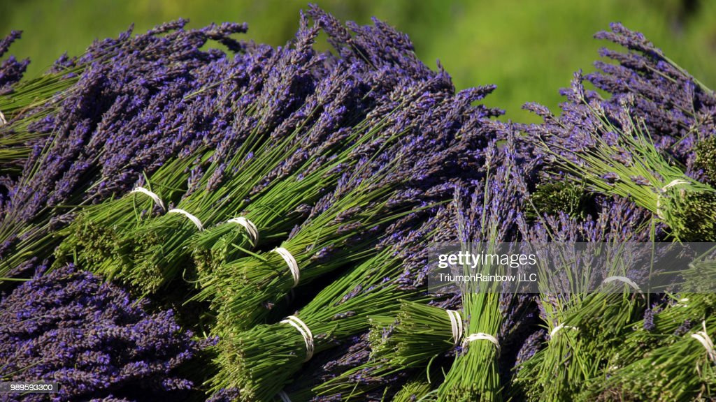 Sequim Lavender Festival 2020.Sequim Lavender Festival 2015 B B Family Farm High Res Stock