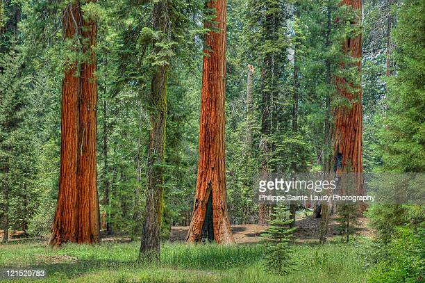 sequoia national park - california - sequoia national forest stock photos and pictures