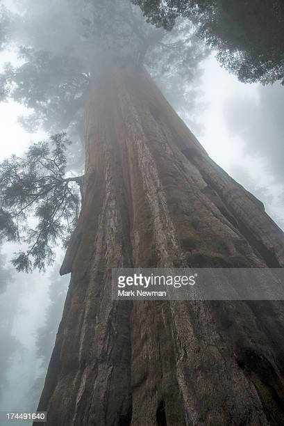 sequoia national park - sequoia national forest stock photos and pictures