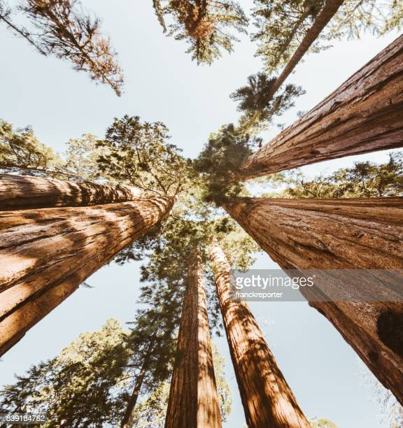 sequoia national park trees - sequoia national forest stock photos and pictures