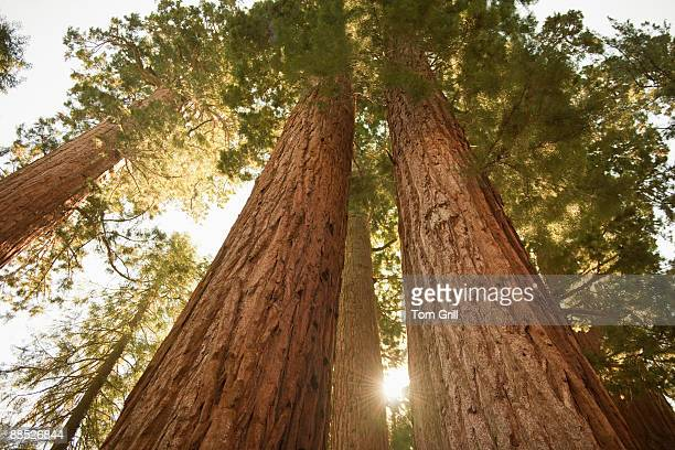 sequoia redwoods at sunset  - big tom stock pictures, royalty-free photos & images