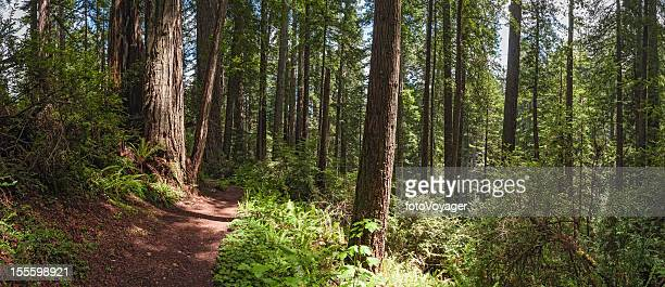 Sequoia sempervirens Giant Redwood forest trail panorama