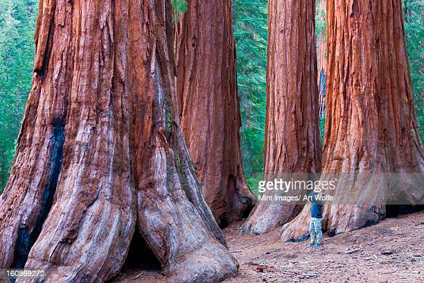sequoia trees, yosemite national park, california, usa - california strong stock photos and pictures