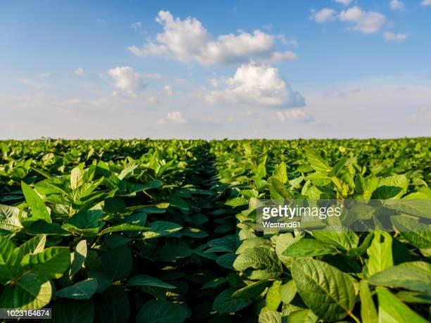serbia, vojvodina. green soybean field, glycine max - haba de soja fotografías e imágenes de stock