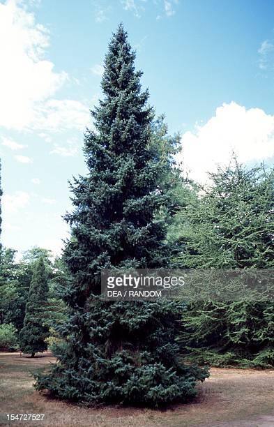 Serbian Spruce Pinaceae