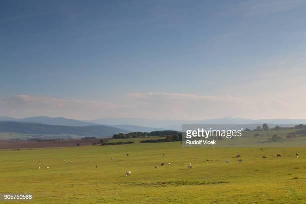 Serene rural idyllic scenery with grazing cattle