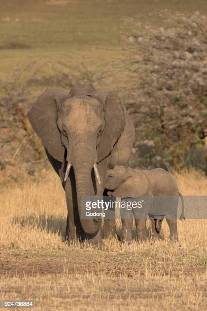 Serengeti National Park African Elephant Mother and baby Tanzania