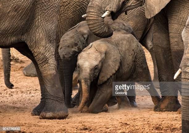 Serengeti National Park Group of African Elephants with Baby Tanzania