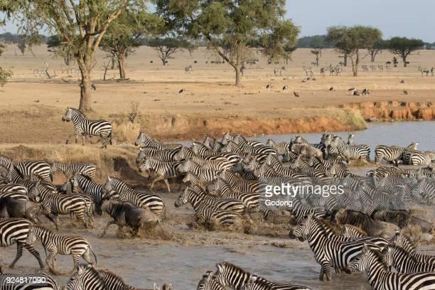 Serengeti National Park Herd of zebras in water Tanzania